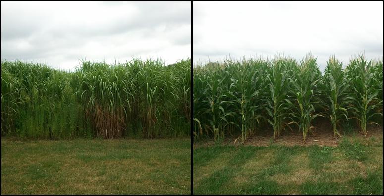 SOM and bioenergy crops